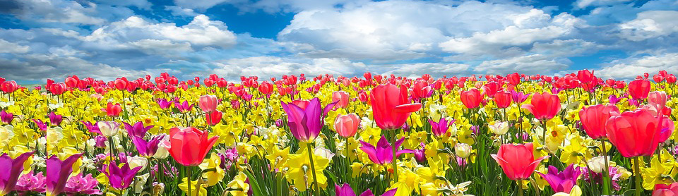 Field of tulips under a clouded blue sky